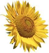 subnflower